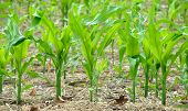 Planning for the future fuel needs with the new growth of corn in the fields. poster