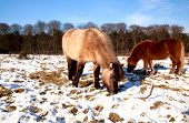 two pony on the winter pasture during mice sunny day poster