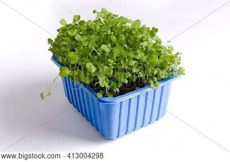 Microgreen In A Blue Plastic Container On A White Background Close-up. Rucola Young Greens Grew At H