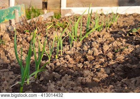 Young Garlic Grows In The Garden. Green Sprouts Of Young Garlic. Agriculture Garlic Plantation.