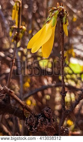 Young Flower Forsythia Suspensa Blossom In Spring, Yellow Weeping Forsythia Or Golden-bell Selective