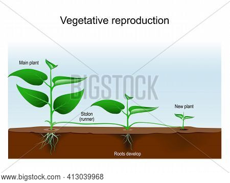 Vegetative Reproduction. Plant Propagation Or Vegetative Multiplication. Cloning Of Plant. Asexual R