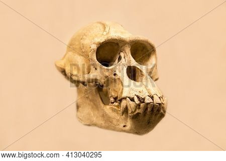 The Skull Of A Male Chimpanzee With A Lower Jaw (latin: Pan Troglodytes) Is Isolated On A White Back