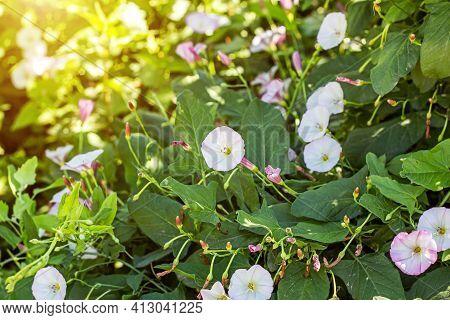 White And Pink Morning Glory (ipomoea Aquatica, False Bindweed, Water Spinach, Kangkong, River Spina