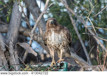 Coopers Hawk Grasping Chain Link Fence With Tallons With Alert Posture While Perched.