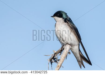 Tree Swallow Flies Perched Atop A Deadwood Branch Against Blue Sky While Keeping An Alert Eye For Da