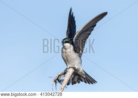Tree Swallow Has Wings Spread High While Grasping The Deadwood Branch For A Landing Perch.