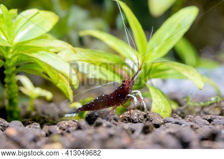 White Spot Sulawesi Shrimp Look For Food From Aquatic Soil Near Aquatic Plant Freshwater Aquarium Ta