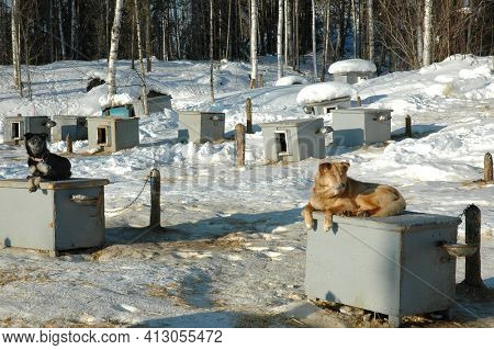 WASILLA, ALASKA - MARCH 2, 2007: Sled Dogs on top of their houses at Happy Trails Kennel, and the home of four-time Iditarod Champion Martin Buser.