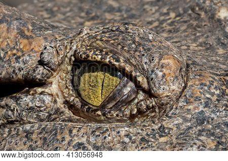 Close Up Eye Of Crocodile Was Sunbathing Isolated On Background
