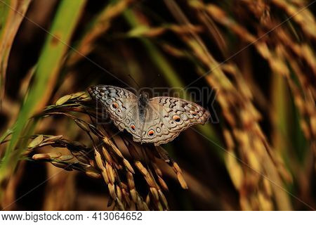 The Grey Pansy Butterfly Is Sitting On A Sheaf Of Paddy
