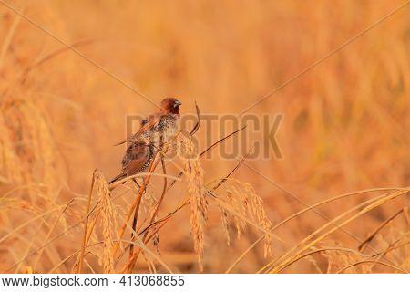 Beautiful Scaly Breasted Munia Or Spotted Munia (lonchura Punctulata) Also Konwn As Nutmeg Mannikin,
