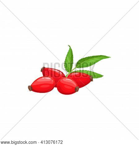 Red Rose Hip Rosehip, Green Leaves Isolated Realistic Food Dessert. Vector Rosehip Or Hep Haw Harves