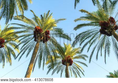 Palm Tree With Green Leaves And Growing Dates On Them. Beautiful Palms With Dates On Blue Sky Backgr
