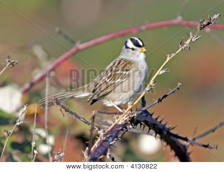 Adult white crowned sparrow perched on black berry bushes. poster