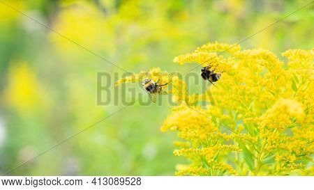 Bumblebees Collect Nectar On Goldenrod Flowers (solidago Gigantea) On A Sunny Summer Day. Selective