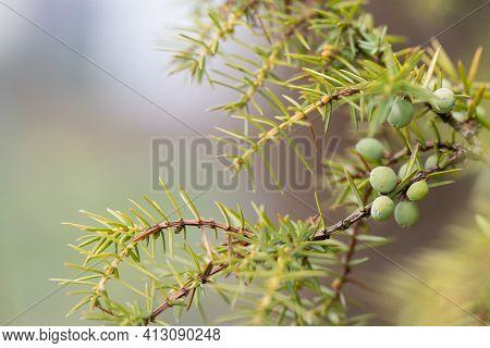 Juniper Branch With Green Unripe Berries In Nature. Juniperus Communis. Close Up, Selective Focus.