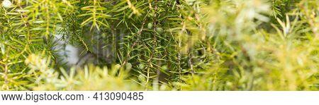 Juniper Branches With Green Unripe Berries In Nature. Juniperus Communis. Close Up, Selective Focus,