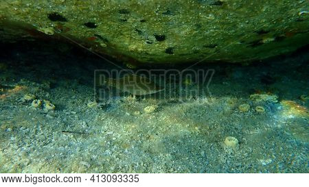 Pointed-snout Wrasse (symphodus Rostratus) Undersea, Aegean Sea, Greece, Halkidiki