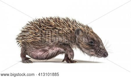 profile of a Walking Young European hedgehog look, isolated on white