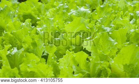 Green Salad In The Garden. Fresh Salad For Making Healthy Salad. Green Leaves. Vitamins, Vegetarian