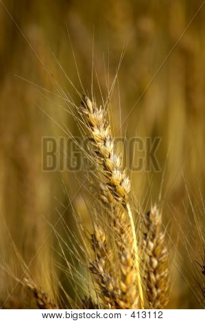 Weizen-Stiel