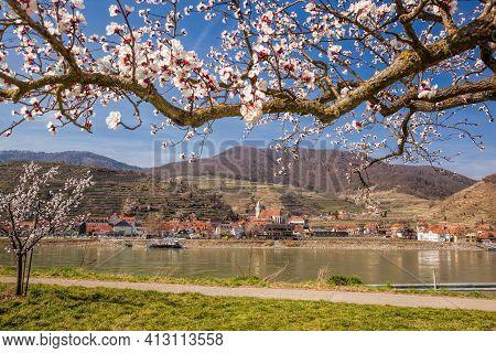 Apricot Tree Against Church In Spitz Village With Danube River In Wachau Valley, Austria