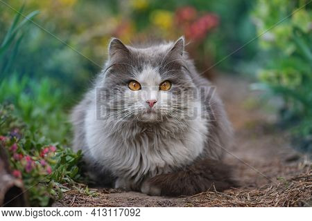 Cat Lying In The Garden Next To Blooming Flowers. Pet Freedom And Enjoying Nature Concept.