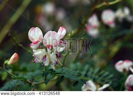 White And Pink Australian Indigo Flowers, Indigofera Australis, Family Fabaceae. Widespread In Woodl