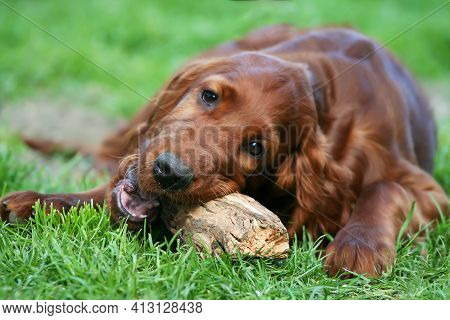Cute Irish Red Setter Dog Puppy Chewing A Wooden Toy, Cleaning Plaque From His Teeth. Pet Dental Car