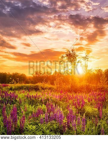Sunset Or Sunrise On A Field Covered With Flowering Lupines In Spring Season With Fog And Cloudy Sky