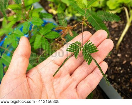 Mimosa Pudica Also Called Sensitive Plant, Sleepy Plant, Action Plant, Touch-me-not, Shameplant. Its