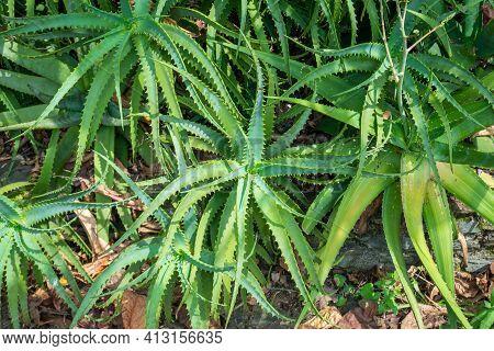 The Krantz Aloe Or Candelabra Aloe (aloe Arborescens) In The Garden