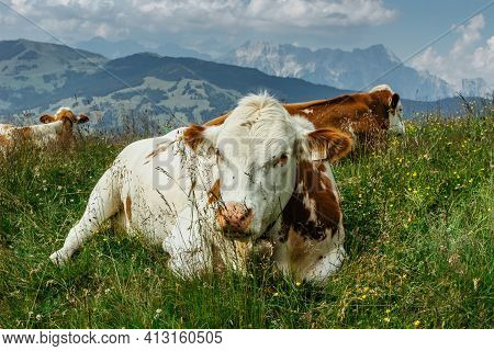 Grazing Cows In Summer Meadow With Grass,mountains In Background,austria.brown Beef Cattle On A Past