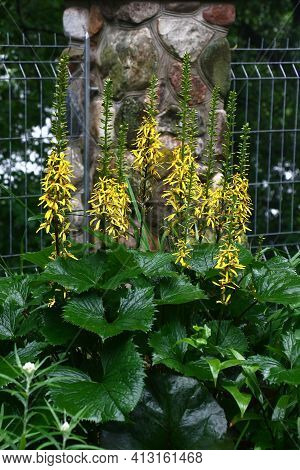 Long Inflorescences With Bright Yellow Flowers And Fresh Large Gear Green Leaves Of A Ligularia Prze