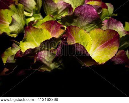 Pink, Blue, Lilac, Violet, Purple Hydrangea Flower (hydrangea Macrophylla) Blooming In Spring And Su