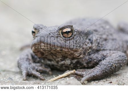 Frontal Closeup Of A Female Of The European Common Toad, Bufo Bufo In The Garden