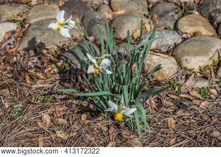 Looking Downward At A Trio Of White With Yellow Center Daffodils Fully Opened In A Garden On A Brigh