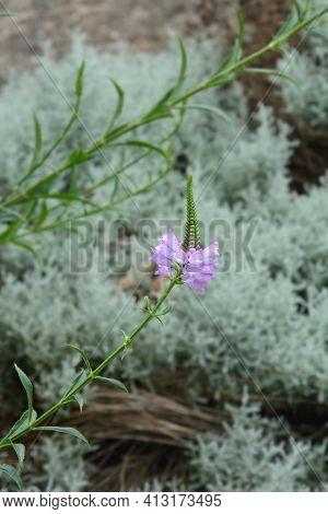 Obedient Plant Vivid - Latin Name - Physostegia Virginiana Vivid