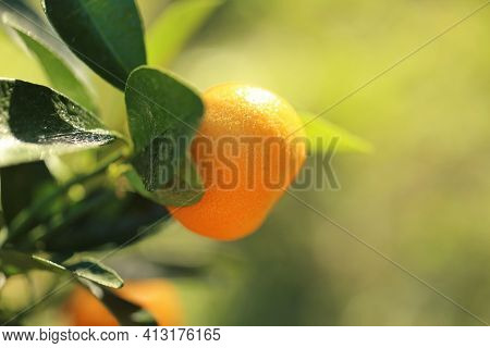 Mandarin Tree.tangerines Fruits On A Branch. Citrus Bright Orange Fruits On The Branches In Bright S