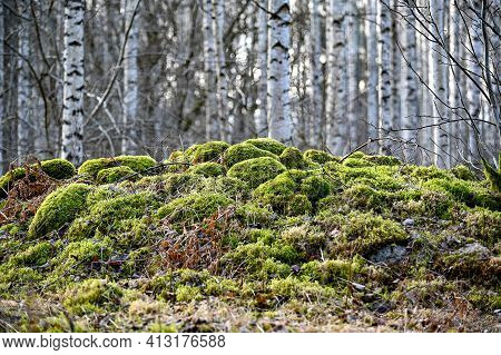 Pile Of Stones Covered In Moss Infront Of Birches