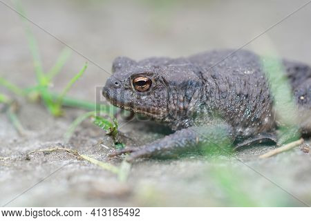 Closeup Of A Female Of The European Common Toad, Bufo Bufo In The Garden