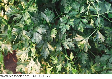 In The Greenhouse, Parsley Grows In The Sun. Green Background Parsley Leaves Close Top View Harvest