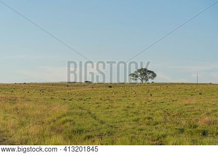 Rural Landscape Of The Pampas Of Rio Grande Do Sul In Brazil And The Presence Of Farm Animals. The P