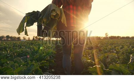 Agriculture. Farmer Girl In A Walk On A Green Field With Box. Business Natural Food Agriculture Conc