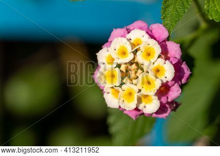 Close-up Of Vibrant Lantana Camara Flower Macrophotography. Tropical Flower In The Sunshine For Spri