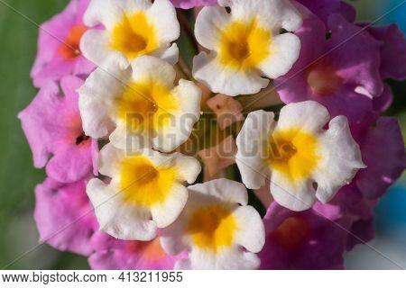 Close-up Of Vibrant Lantana Camara Flower Top View Very Close Up Macrophotography. Tropical Flower I