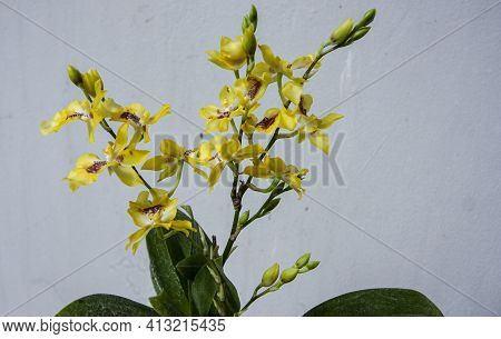 Mass Of Small Yellow Flowers On Orchid Plant