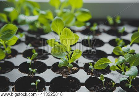 Gardening At Home. Growing Food On Windowsill, Small Fresh New Green Sprouts Seedling In Black Pots