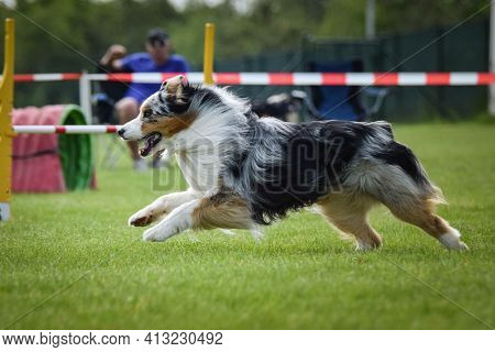 Dog, Is Running In Agility.  Amazing Evening, Hurdle Having Private Agility Training For A Sports Co